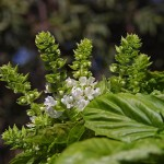 Sweet Basil Blooming