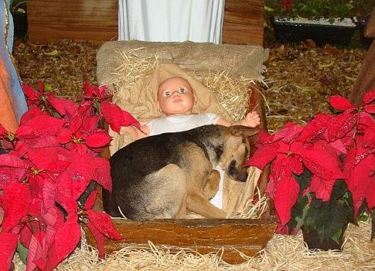 Shepherd Dog in a Manger